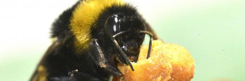 A bumblebee queen manipulates an egg cup